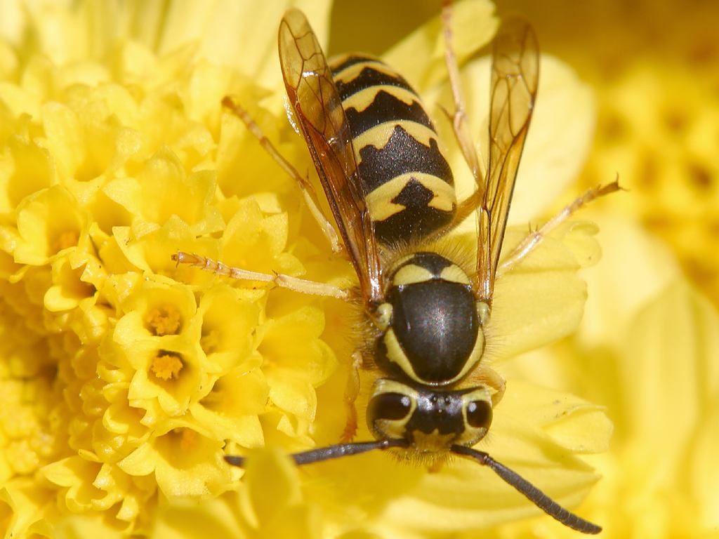 Wespe Blüte