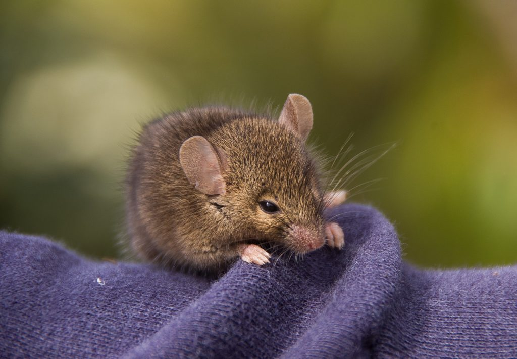 Was Essen Mäuse Gerne mäuse essen gern käse? von wegen! lock die tiere lieber mit diesem