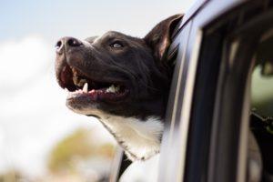 Hundehaare im Auto entfernst du am besten mit einem Gummihandschuh